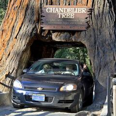 Drive-Through Redwood Tree