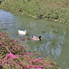 Ducks at UC Davis