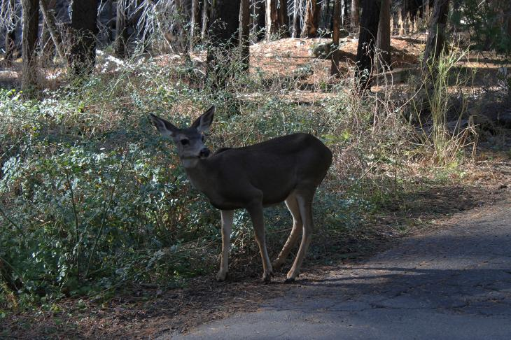 Deer in the Mariposa Grove