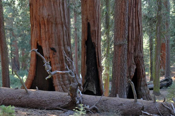 Three Hollow Sequoia Trees
