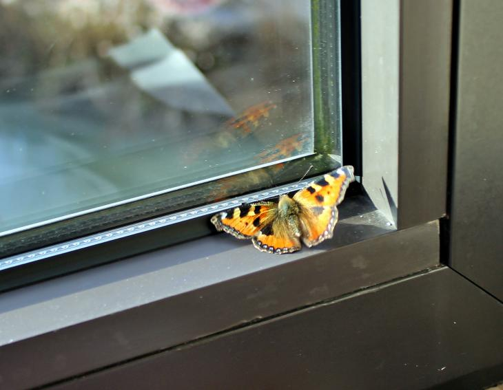 Butterfly behind window