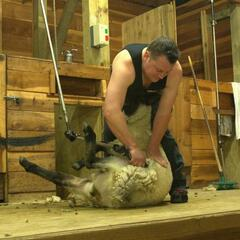 Sheep shearing at the Agrodome
