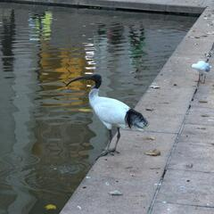 Ibis birds in Hyde Park