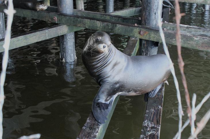 Sea Lion at the Santa Cruz Wharf
