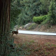 Deer on UCSC campus
