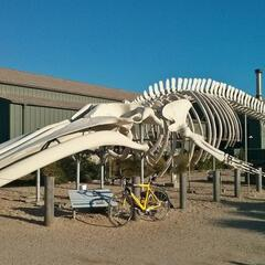 Blue Whale at the Seymour Marine Discovery Center