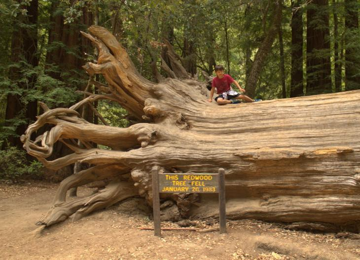 Fallen Redwood Tree at Park Headquarters
