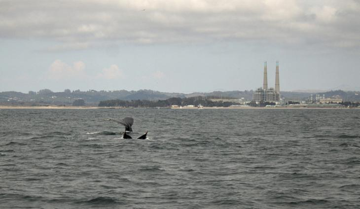 Two Humpback Whales near Moss Landing