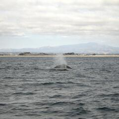 More Humpback Whales