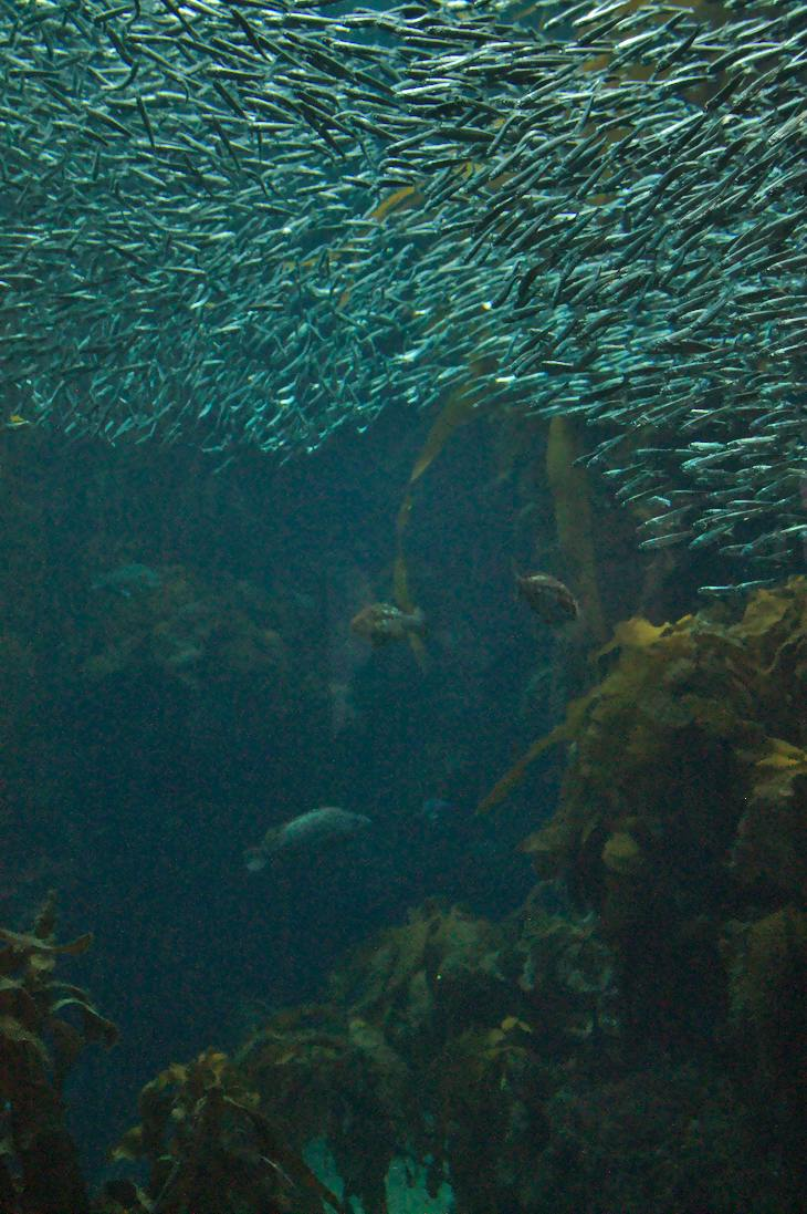 Kelp Forest with Pacific Sardines, Monterey Bay Aquarium