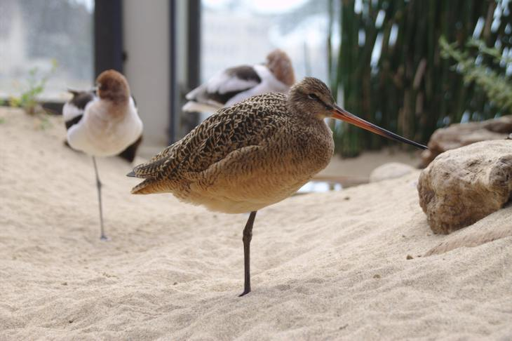 Long-billed Curlew, Monterey Bay Aquarium