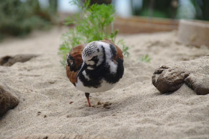 Ruddy Turnstone, Monterey Bay Aquarium