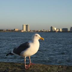 Seagull with Oakland in the Background
